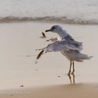 Ring-billed Gull Tip Toe Dancer