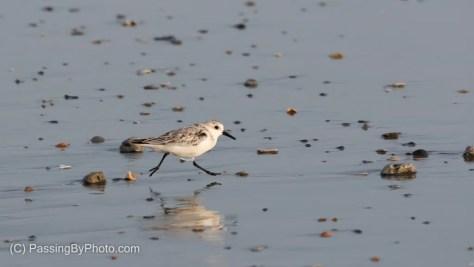 Sanderling On The Run