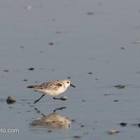 Sanderling Passing By