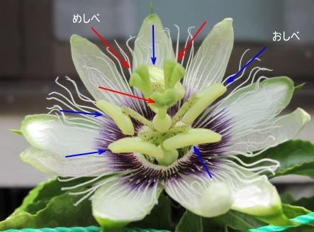 パッションフルーツの花の構造
