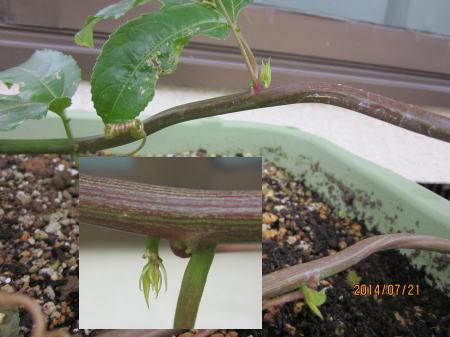 下部から芽吹きつつある新芽