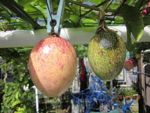 露地栽培の秋結実の果実は食べられるか