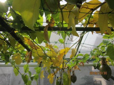 エドゥリス黄実の紅葉