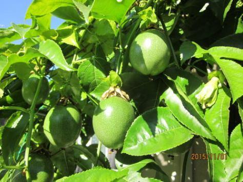 20151101水耕の果実