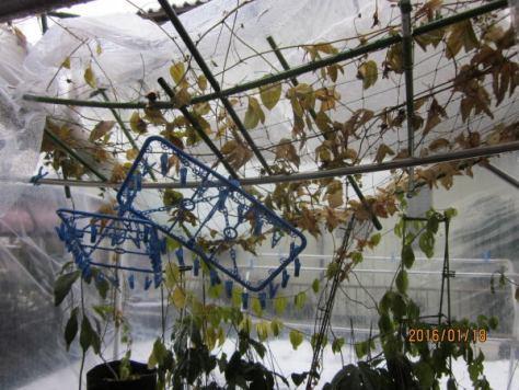 パッションフルーツ棚の屋根崩壊