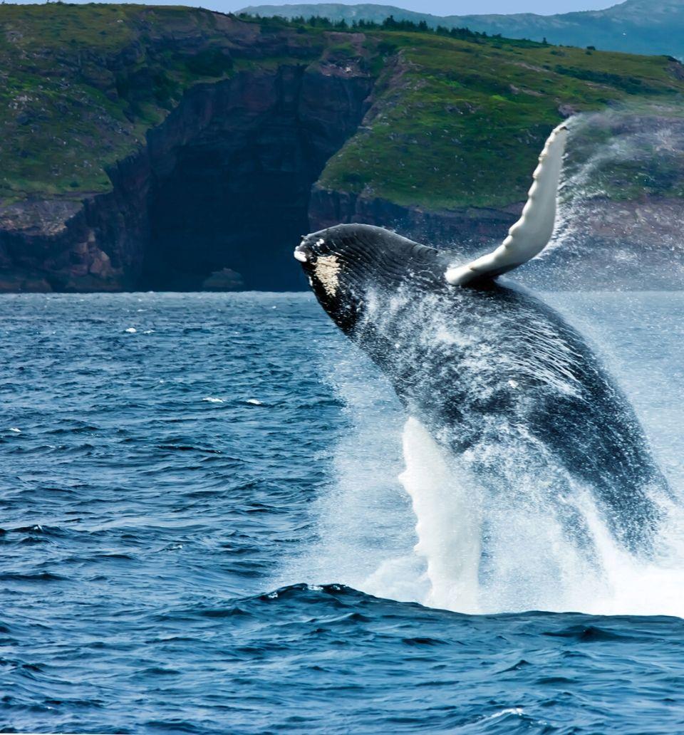 whale breaching off NL coast