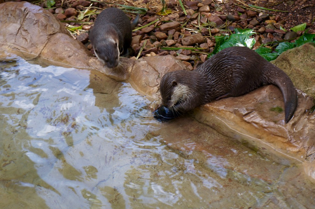 Otters at the Adelaide Zoo