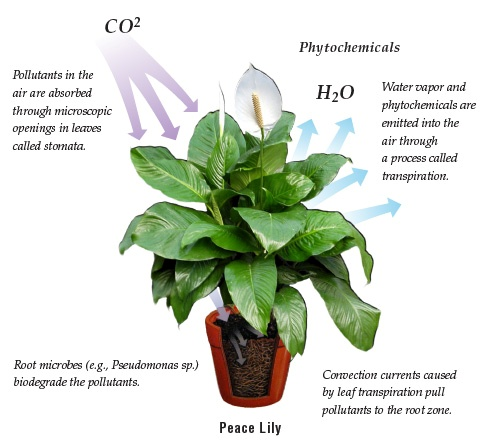 10 Best Plants For Improving Air Quality – Raven Tao : Big ...