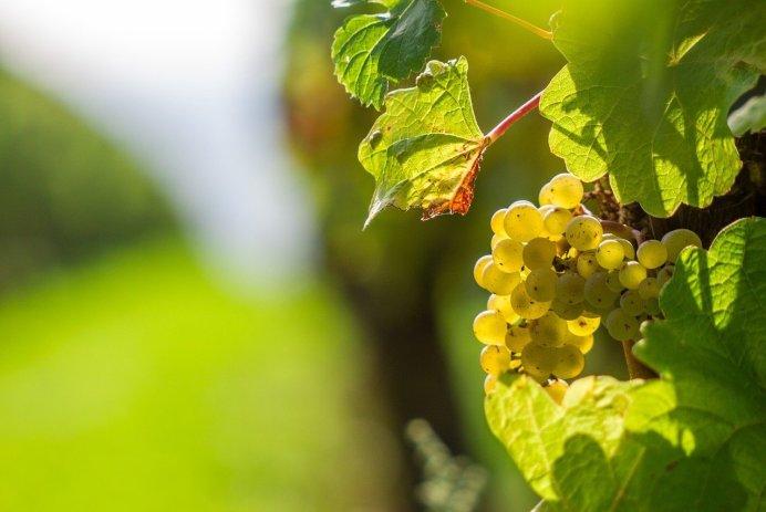 vins canadiens blancs raisins