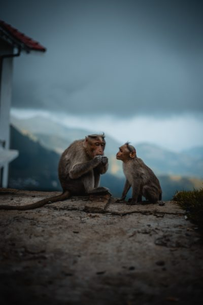 monkeys in fog ahmed zayan