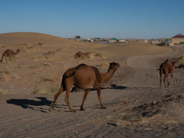 camels in desert near village