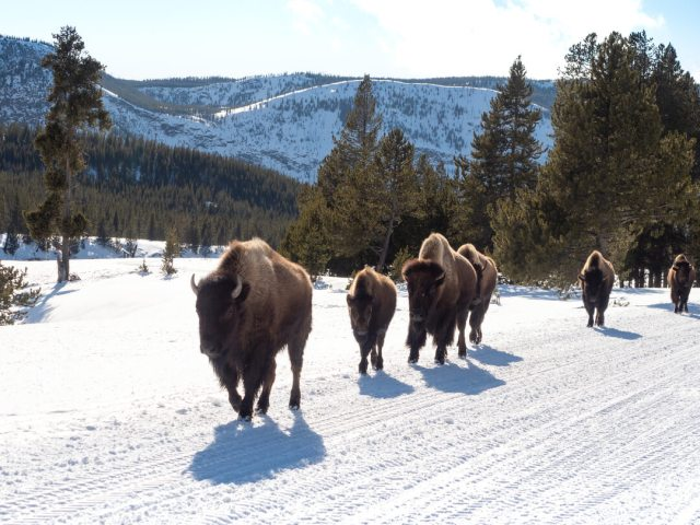a herd of bison on wintry landscape