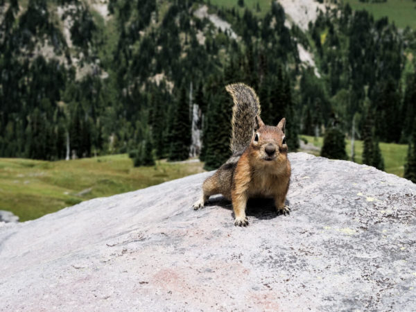 squirrel perched on rock inside mount rainier national park