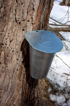 Traditional sap collection - a spile with a collection bucket.