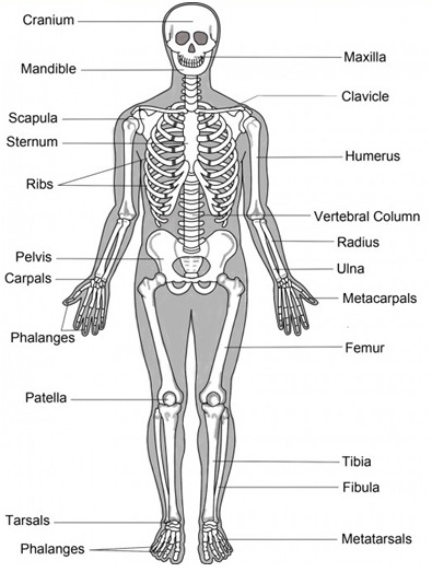 8165120 likewise 9715528 additionally Lab exercise 09 skeletal as well Mallet Finger as well Alveoli Picture. on mandible labeling exercises