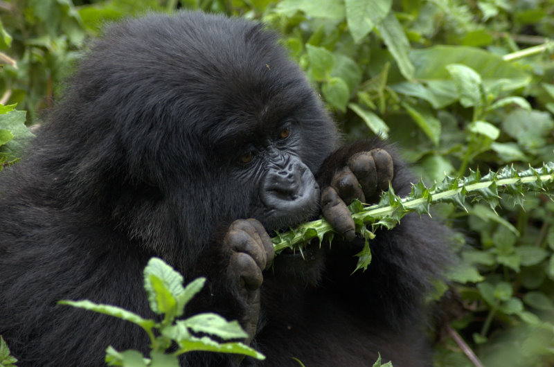 How Do Mountain Gorillas Get Their Food