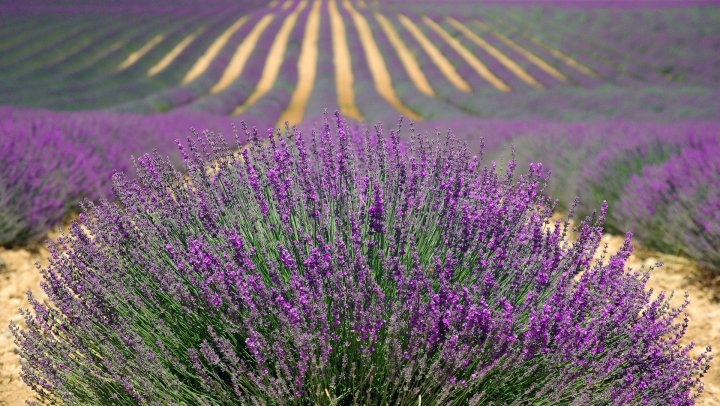 10 Incredible Things to Do on the French Riviera - Provence Lavender Fields