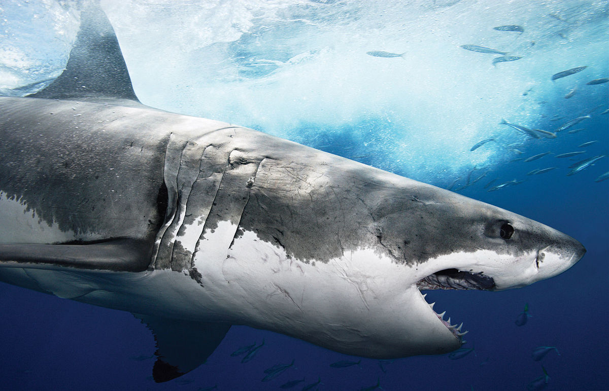 10 Facts You Didn T Know About Great White Sharks