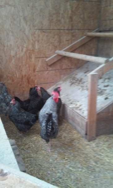 the chickens barn, Hugo Morel