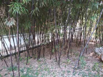 Black bamboo photo courtesy of Hugo Morel