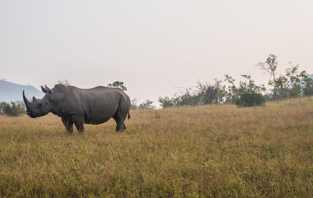 A white rhino at sunrise