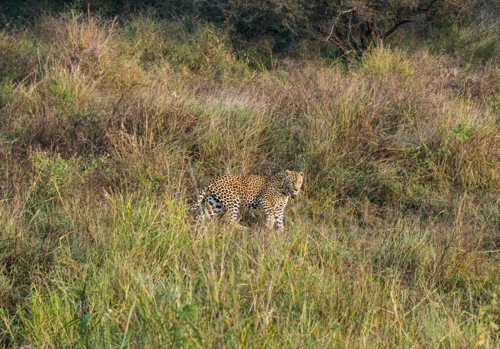 Large male leopard at sunrise