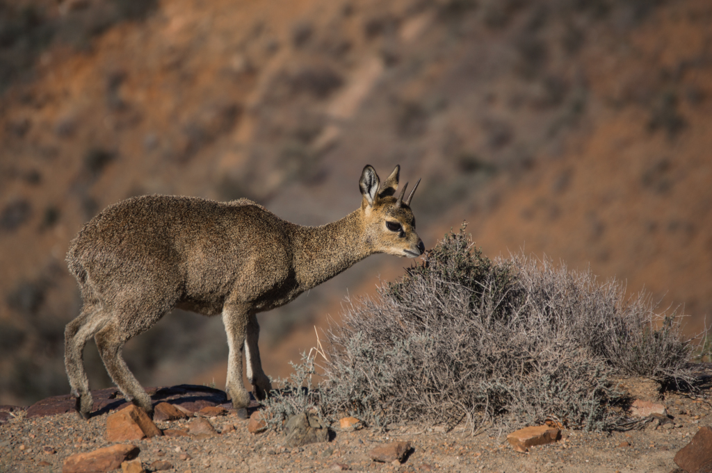 A perfect klipspringer!