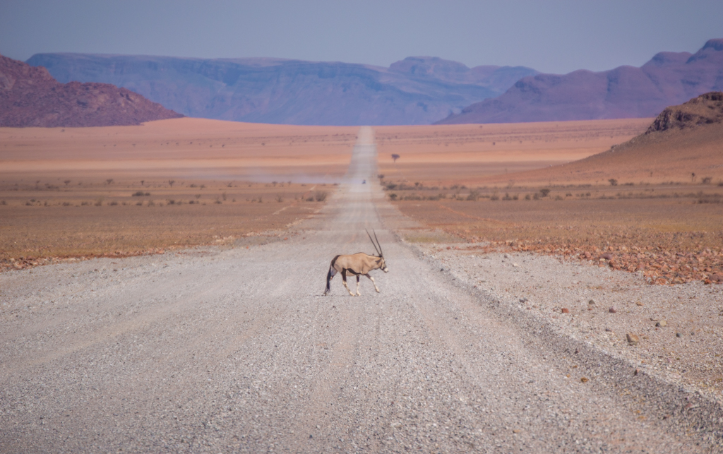 An Oryx/Gemsbok gently crosses the road in the Nature Reserve