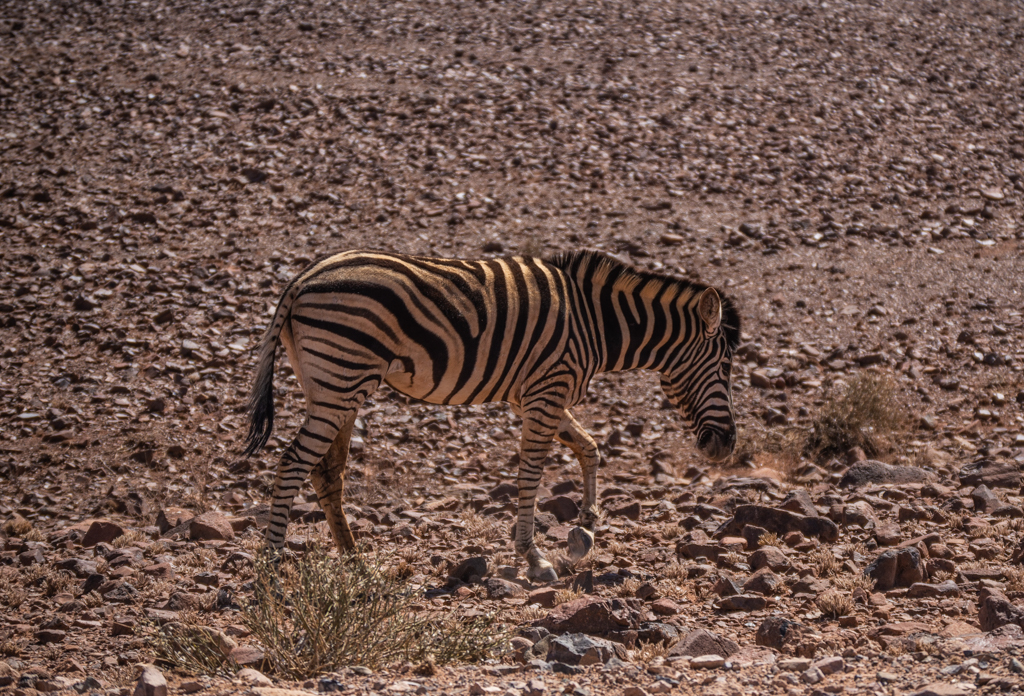 Zebras can be spotted from long distances in this landscape