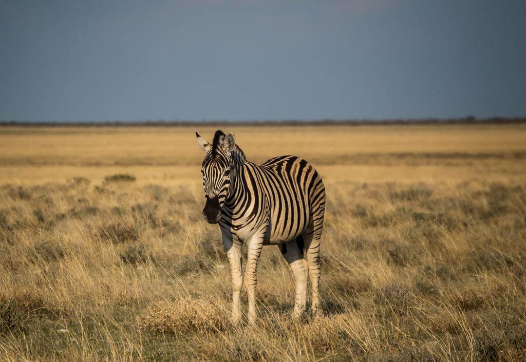 Plains Zebra in Etosha