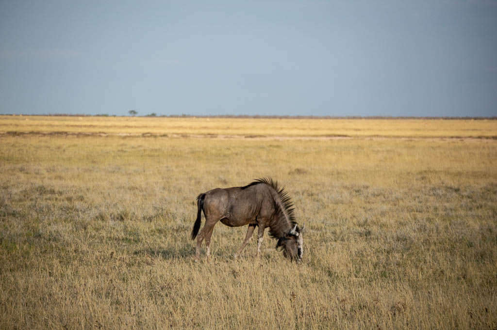 Blue Wildebeest in Etosha National Park