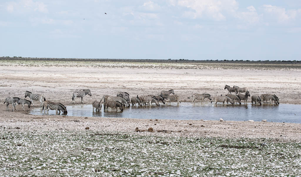 A herd of zebra at a popular watering hole in Etosha