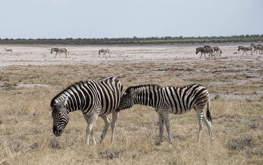Plains Zebra calf nursing