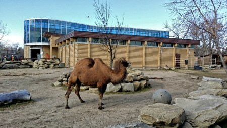 Bactrian Camels, Calgary Zoo