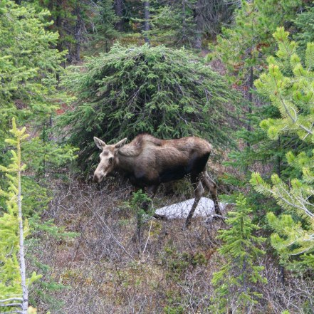 Moose, Banff National Park, Alberta, Canada