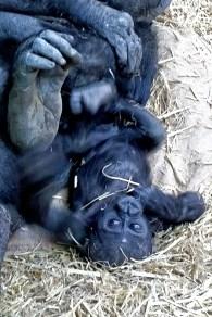 Kimani the baby Gorilla, Calgary Zoo