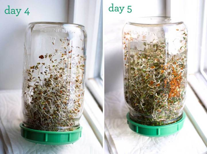 grow sprouts at home | days 4 and 5 of alfalfa sprout growth in mason jar sprouters