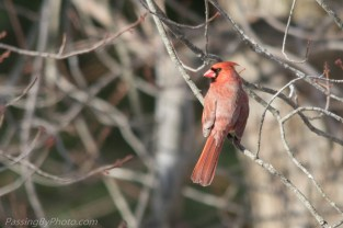 Back yard male cardinal