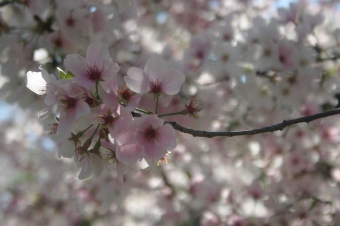 Yoshino's Blooming