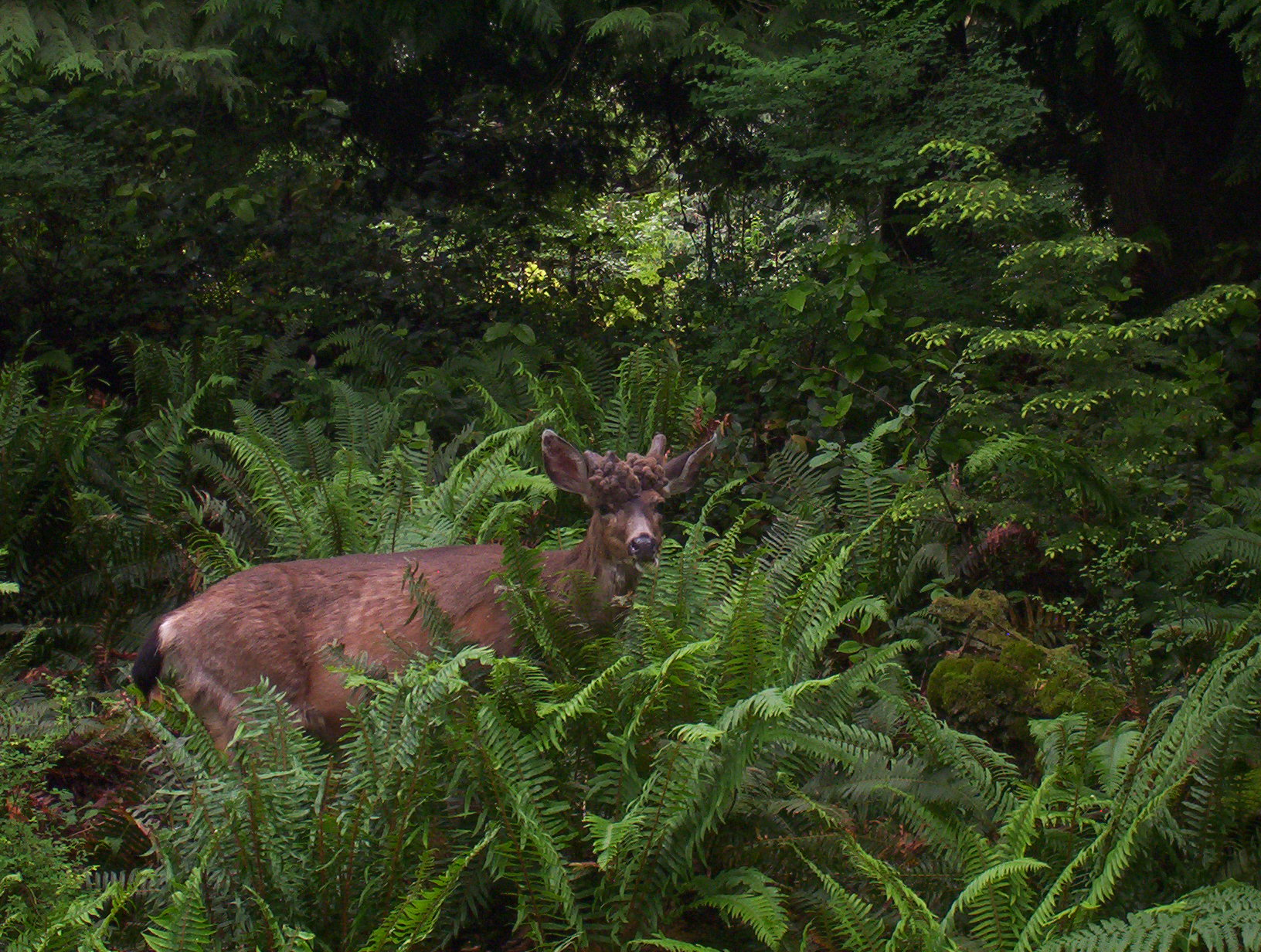 Deer onBowen