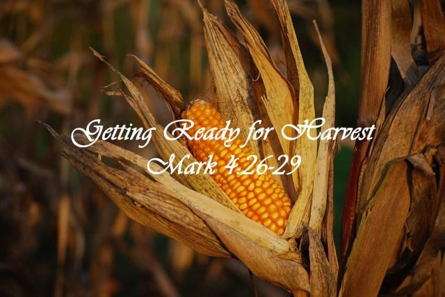 Mature Ear of Corn