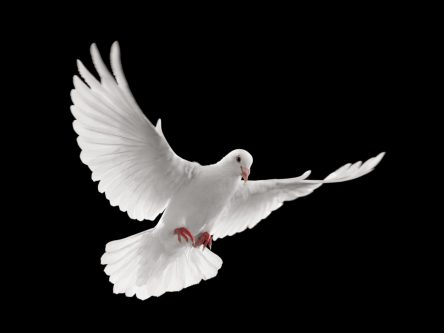 flying white dove isolated on black background.