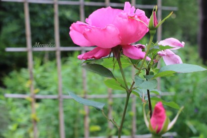 A double rose of some variety.