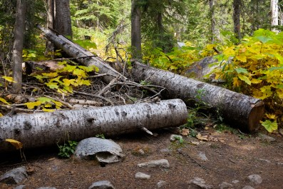 Cleared logs hiking camas creek trail no. 125 to camas lake in montana