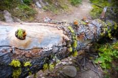 Reindeer Moss while hiking Camas Creek Trail to Camas Lake Montana