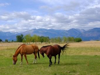 Horses grazing in a beautiful summer scene in montana