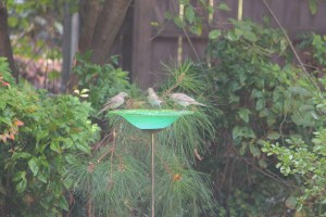 Female house finches gossiping around the water cooler