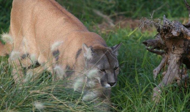 Puma en la Cueva de las Manos