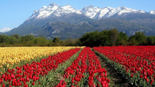 Campo de Tulipanes en Trevelin, uno de los lugares con mayor calidad de vida en la Patagonia.