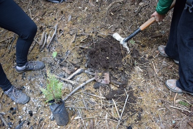 Persona haciendo un pozo con una pala al lado de un plantin de ciprés.